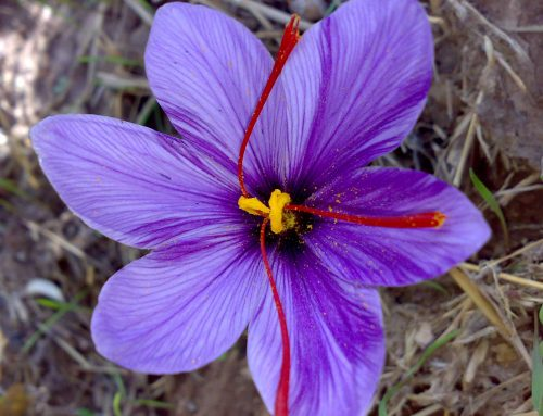 Saffron Uses, Side Effects and Dosing