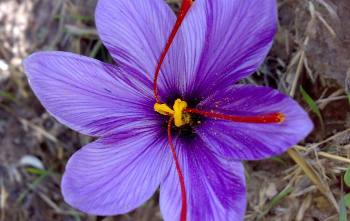esfedan-Saffron-flower